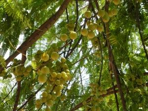 Mallacca Tree
